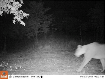 lion caught on night vision camera