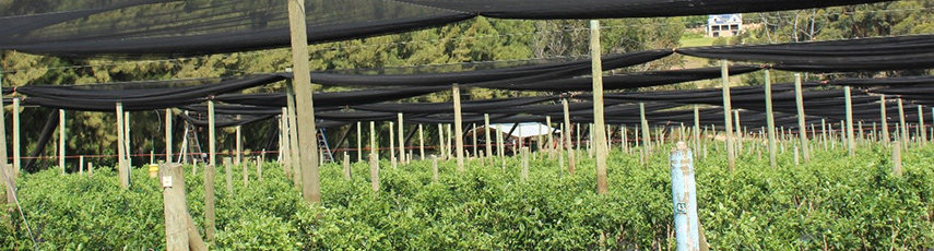 Nets over a plant crop in South Africa
