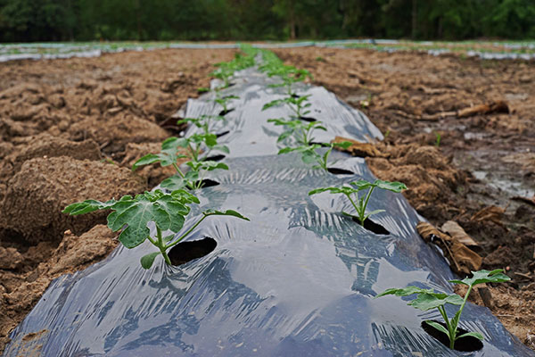 Plastic mulch used on farmland.